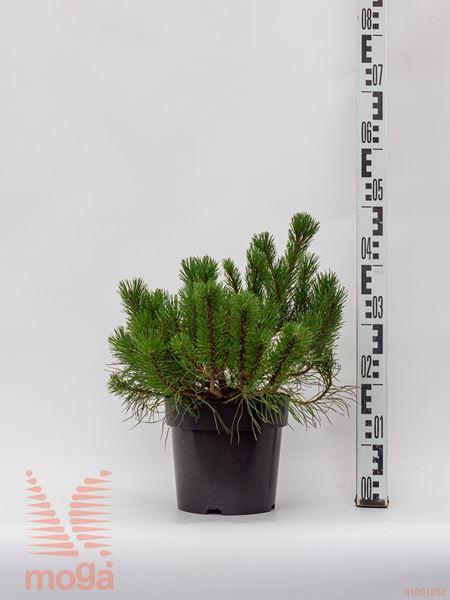 Pinus mugo pumilio  25-30 P19
