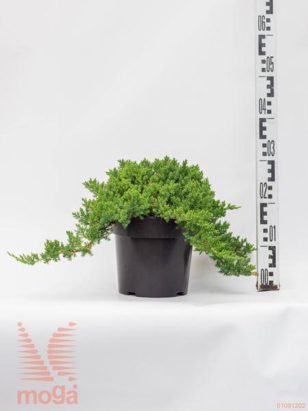 """Juniperus procumbens """"Bonin Isles""""  30-40 C"""