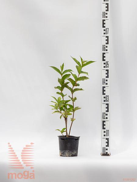 Weigela florida ® |10-20|P10,5