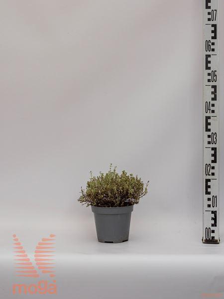 "Thymus citriodorus ""Silver Queen"" |P14"