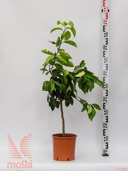 Citrus sinensis |1/4 deblo|C10