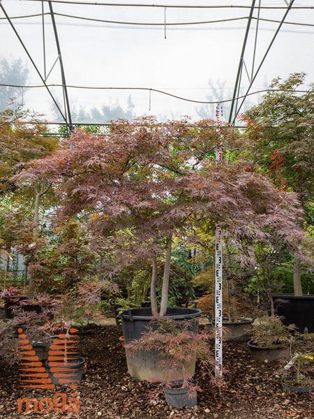 """Acer palmatum """"Dissectum Nigrum""""  1/2 deblo FI:150-175 2R C110"""