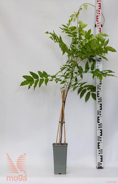 "Wisteria floribunda ""Violacea Plena"" |40-60|C2"