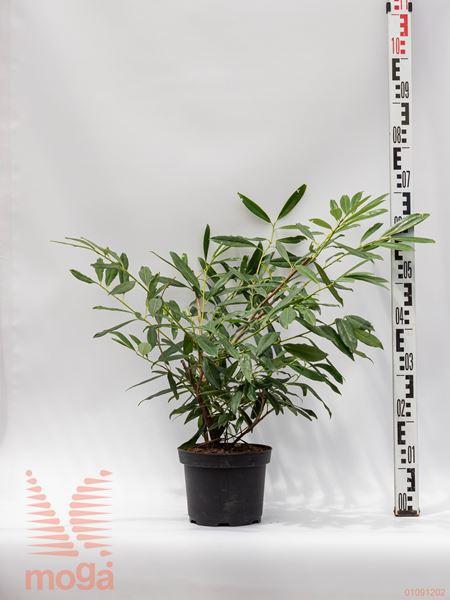 "Prunus laurocerasus ""Zabeliana"" |40-60|C"