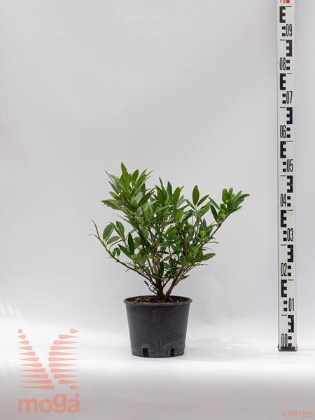 """Prunus laurocerasus """"Otto Luyken""""  20-40 P19"""