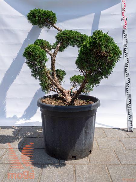 Juniperus chinensis |100-125|bonsai - oblika|C