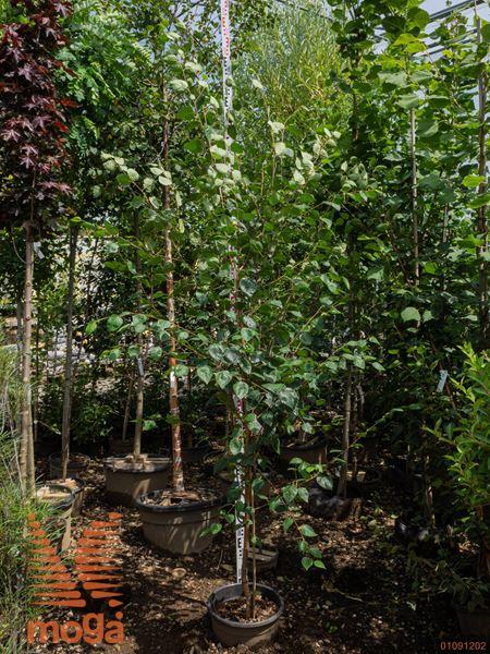 Betula utilis jacquemontii |250-300|C