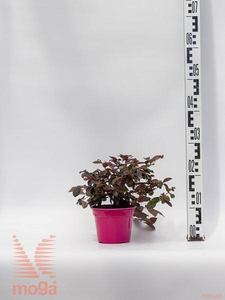 Loropetalum chinense |P14