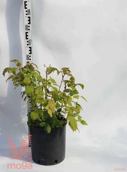 "Rubus idaeus ""BrazelBerries® Raspberry Shortcake"" ® |20-30|C4,5"