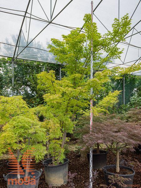 Acer palmatum |400-450|C80