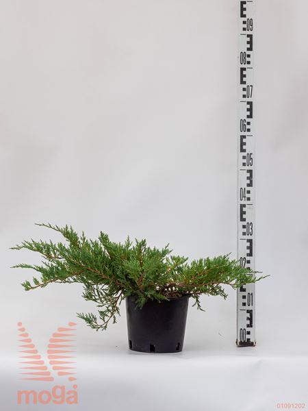 "Juniperus horizontalis ""Andorra Compacta"" |FI:20-30|C2"