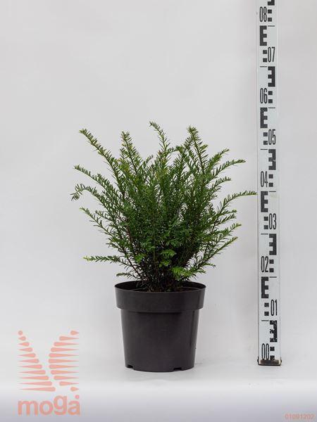"Taxus baccata ""Renke's Kleiner Grüner"" ® |20-25|FI:20-25|krogla|C2,5"