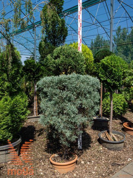 "Cupressus arizonica ""Fastigiata"" |125-150|oblikovano - drugo|C"
