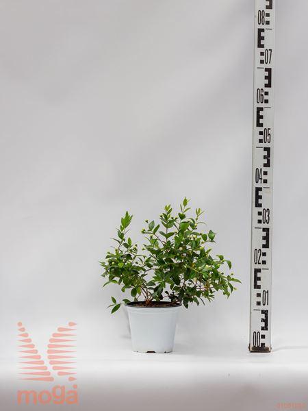 Myrtus communis |P14
