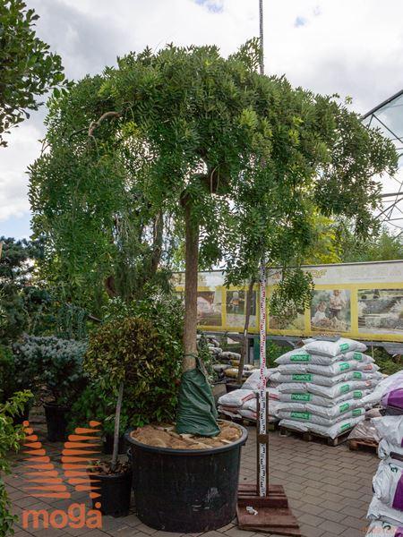 "Sophora japonica ""Pendula"" |30/35|AF deblo|C"