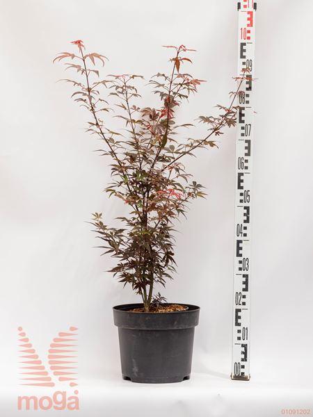 "Acer palmatum ""Skeeter's Broom"" |40-60|C4,5"