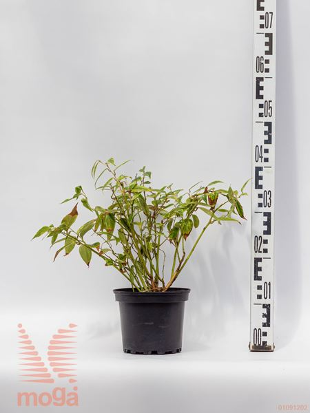 "Leucothoe fontanesiana ""Makijaz"" ® |20-40|P17"