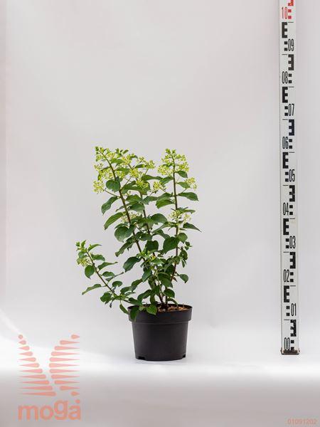 "Hydrangea paniculata ""Silver Dollar""  20-40 C3"