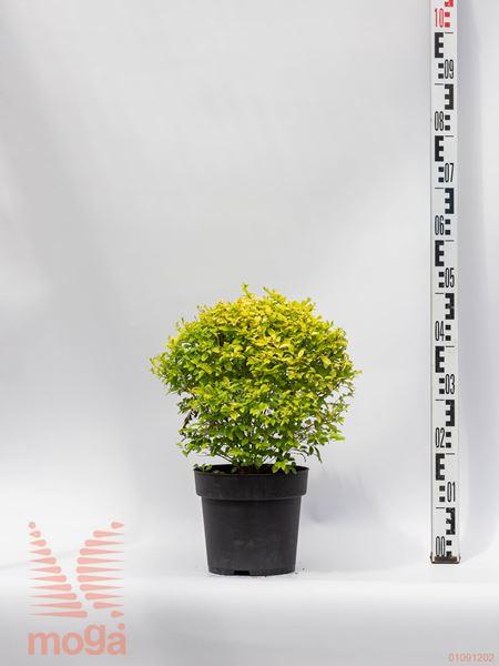 """Ligustrum ovalifolium """"Lemon and Lime"""" ®  40-60 C4,5"""