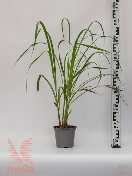 Cymbopogon citratus |P14