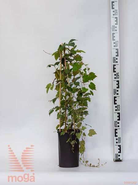 """Parthenocissus tricuspidata """"Veitchii""""  60-80 C2"""