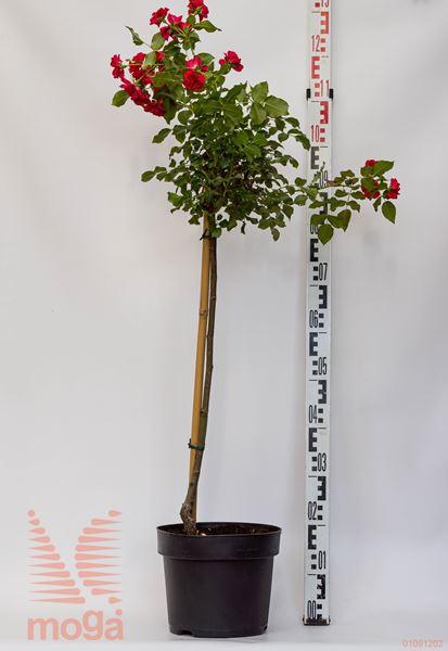 "vrtnica ""Rotilia"""