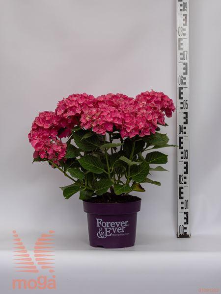 "Hydrangea macrophylla ""Forever & Ever"" |20-40|rdeča|P23"