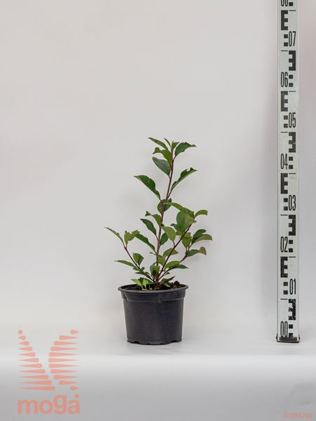 "Photinia fraseri ""Red Robin"" |20-40|C"