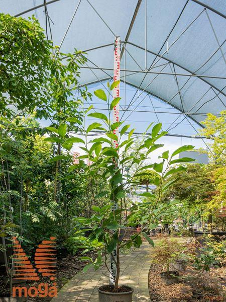 Magnolia soulangeana |80-100|C10