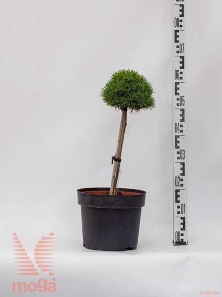 "Pinus mugo ""Ježek"" |1/4 deblo|FI:15-20|C5"