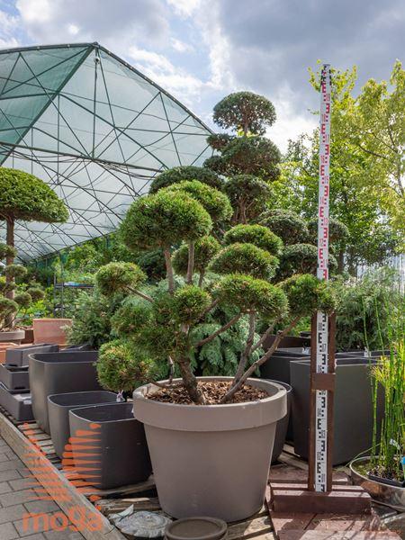 "Pinus mugo ""Gnom"" |100-125|FI:100-125|bonsai - oblika|C/LIRA161"