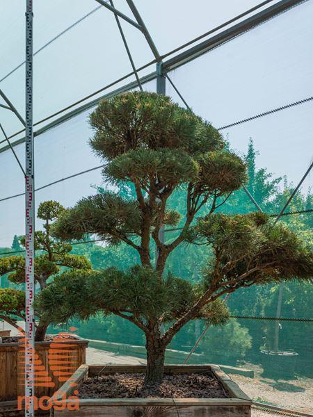 Pinus sylvestris  150-175 FI:125-150 bonsai C102x102x62
