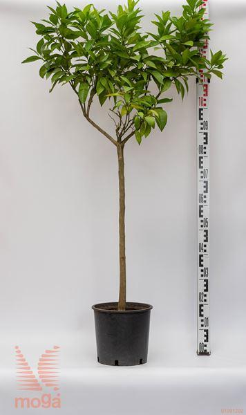 Citrus sinensis |1/2 deblo|P