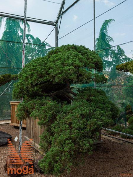 Juniperus chinensis |180|FI:250|niwaki|unikat|C122,5x122,5x67