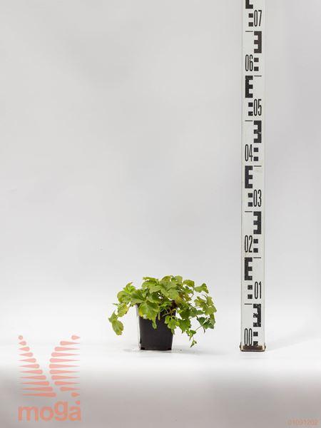 Waldsteinia ternata |P9