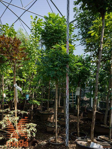 "Robinia pseudoacacia ""Umbraculifera"" |1/2 deblo|extra|C"