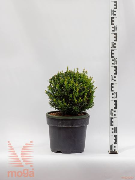 "Taxus baccata ""Renke's Kleiner Grüner"" ® |30-35|FI:30-35|krogla|C5"