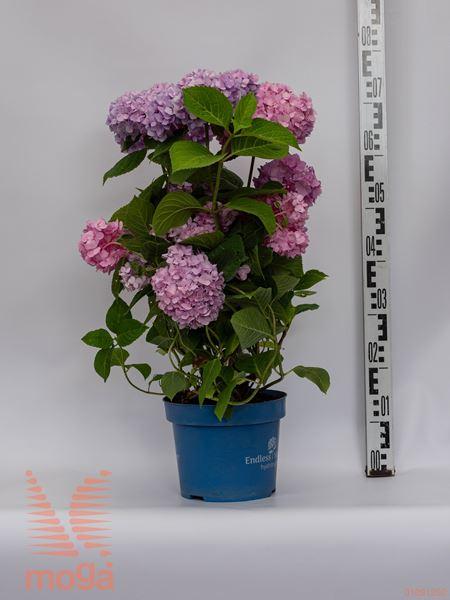 "Hydrangea macrophylla ""Endless Summer Rose"" |30-40|roza|C5"