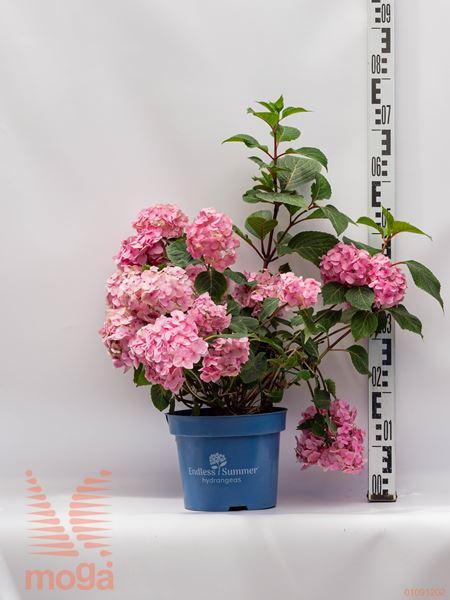 "Hydrangea macrophylla ""Endless Summer Bloom Star"" ®  30-40 modro-lila C5"