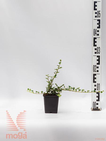 "Cotoneaster dammeri ""Frieders Evergreen""  10-15 P10,5"