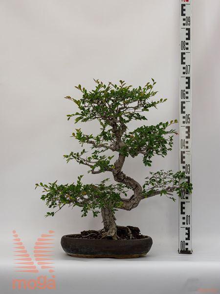 Zelkova serrata |60|bonsai|P