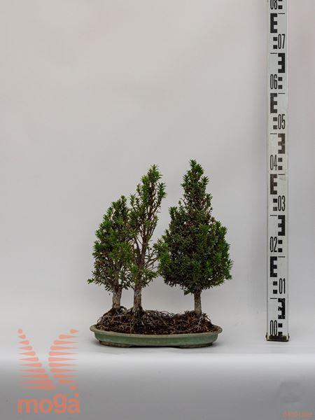 Taxus cuspidata |40|bonsai|3 rastline|P
