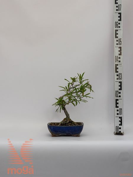 """Pyracantha """"Orange Glow""""  30 bonsai P21"""