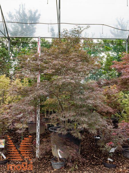 """Acer palmatum """"Dissectum Nigrum""""  150-175 extra C110"""