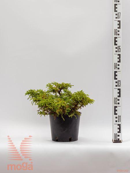 "Cryptomeria japonica ""Yokohama"" |20-25|C2"