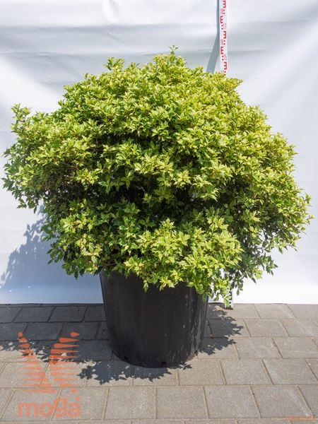 "Osmanthus heterophyllus ""Goshiki"" ® |90-100|FI:90-100|krogla|C80"