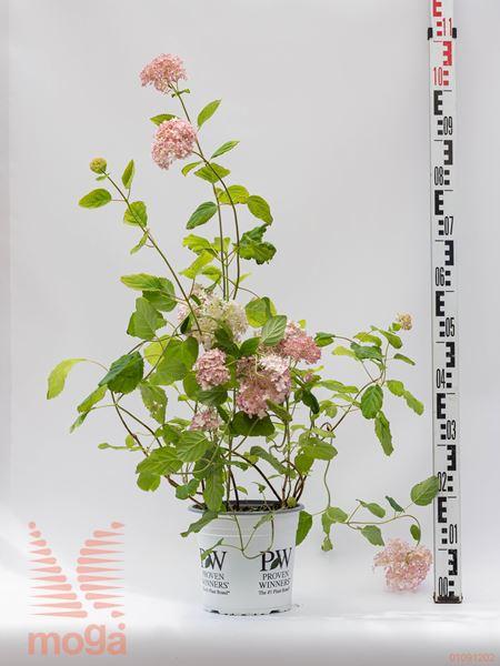 "Hydrangea arborescens ""Pink Annebelle"" |20-40|P20"