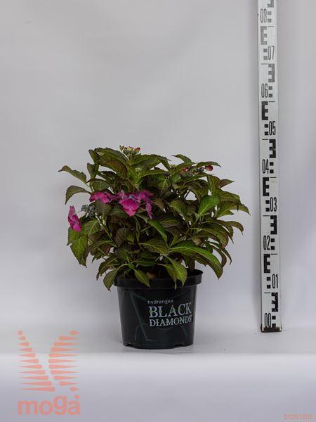 "Hydrangea macrophylla ""Black Diamonds Dark Angel Purple"" ® |20-40|P20"