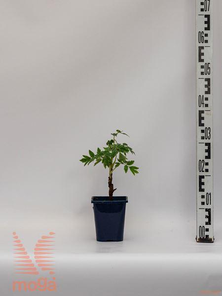 Paeonia suffruticosa |lila|P