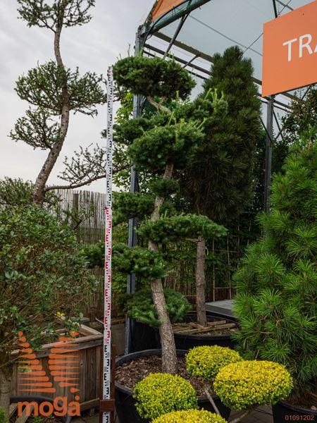 Larix kaempferi |bonsai - oblika|C